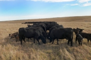 cattle on prairie